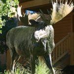 "Bull of the Woods96""L 7H 2W - ed./6 - Wildlife Bronze Sculpture Monumental Wildlife Bronzes Life-size plus wildlife bronzes"